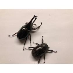 Xylotrupes gideon sumatrensis pair